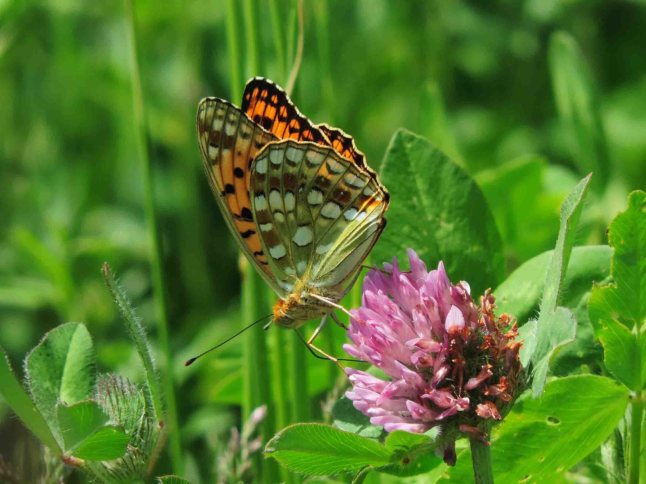ウラギンヒョウモン – 蝶と自然。...