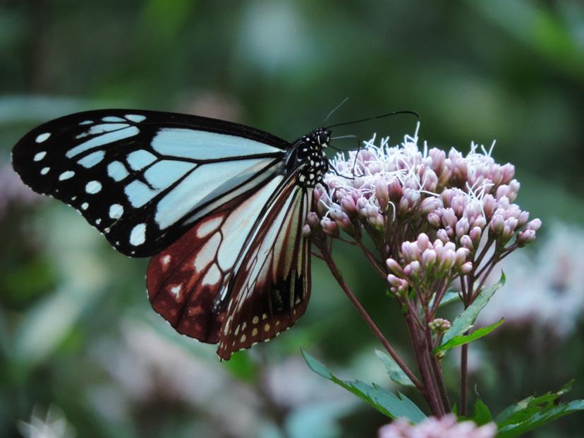 アサギマダラ – 蝶と自然。